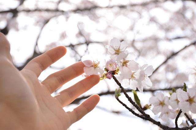 桜を感じる