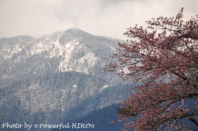 桜の香りを楽しむ (1)