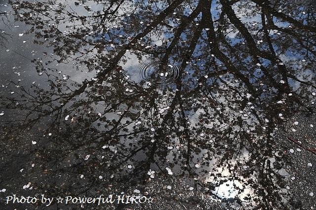 桜の香りを楽しむ (6)