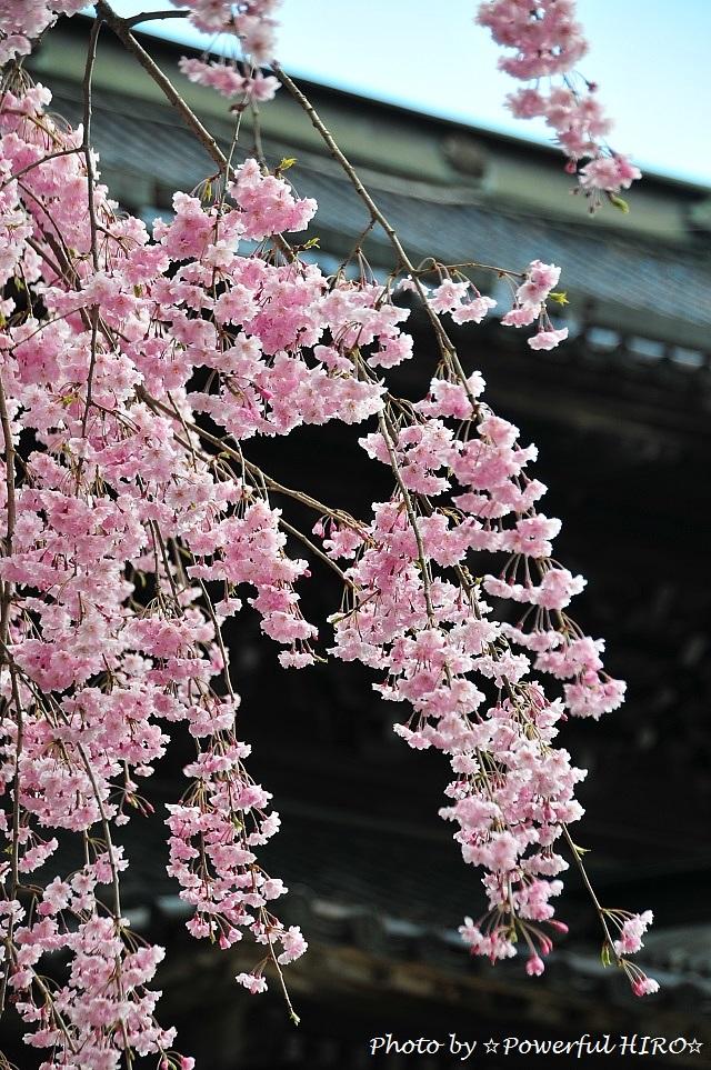 桜の香りを楽しむ (7)