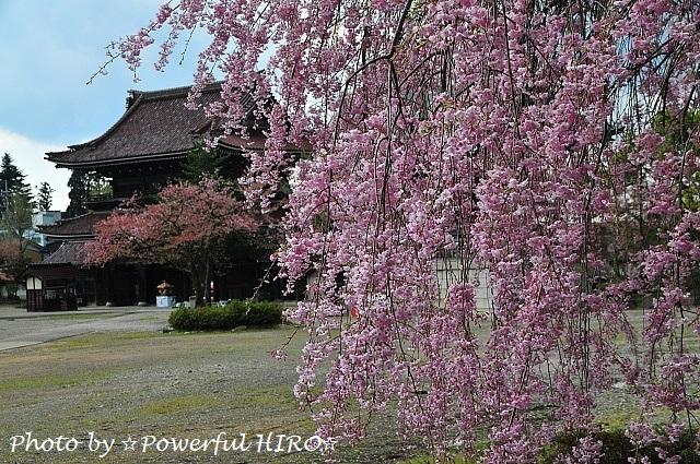桜の香りを楽しむ (10)