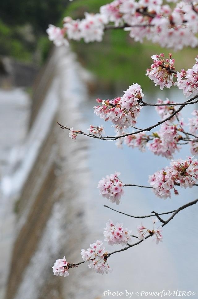 桜の香りを楽しむ (11)
