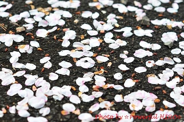 桜の香りを楽しむ (13)
