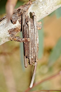 250px-Case_moth_on_eucalypt.jpg