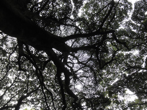 枯松神社の大木