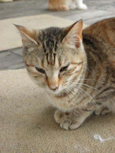 大島の猫1