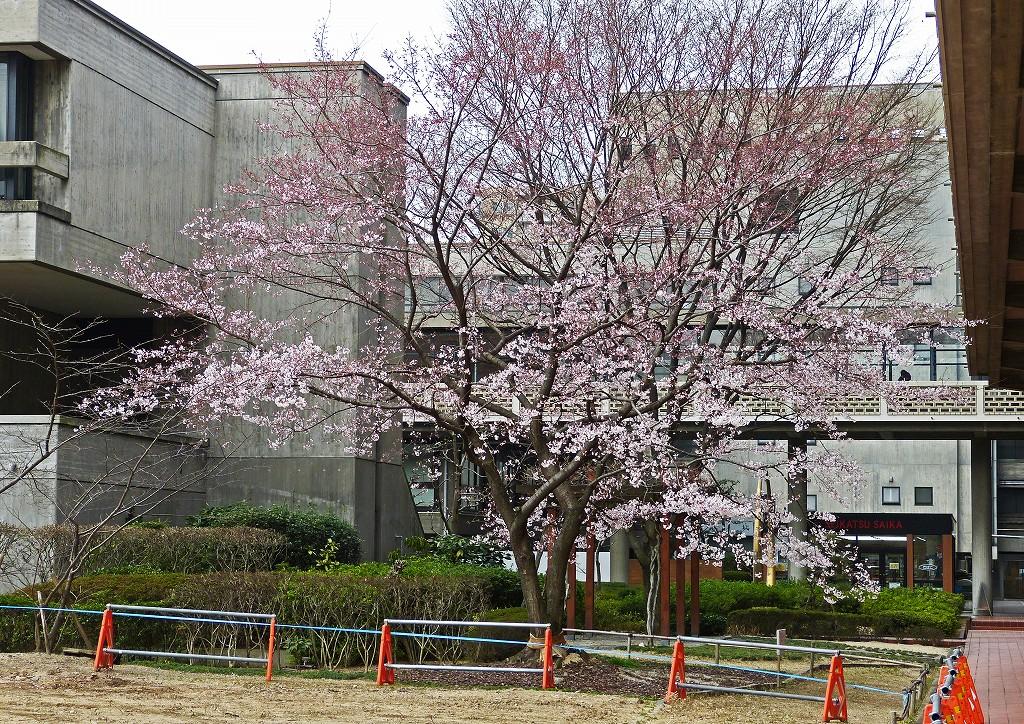 s-20160318 岡山県庁の醍醐桜の様子 (1)