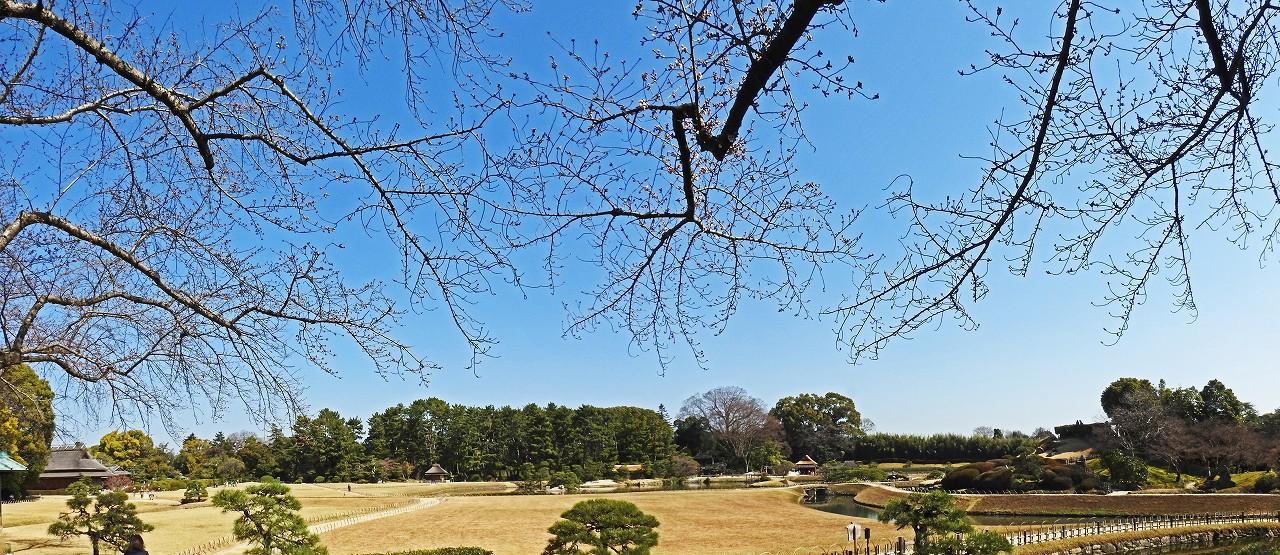 s-20160322 後楽園南門を入って直ぐ場所で撮影した今日の園内の桜の開花の様子ワイド風景 (1)
