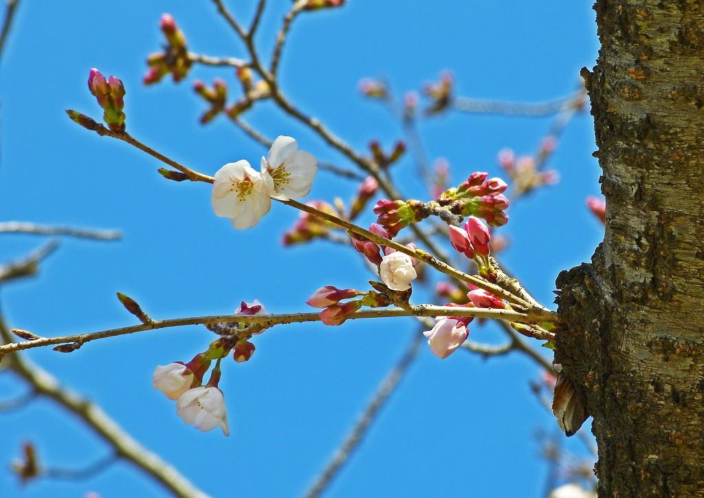 s-20160323 後楽園桜林の桜開花の様子 (1)