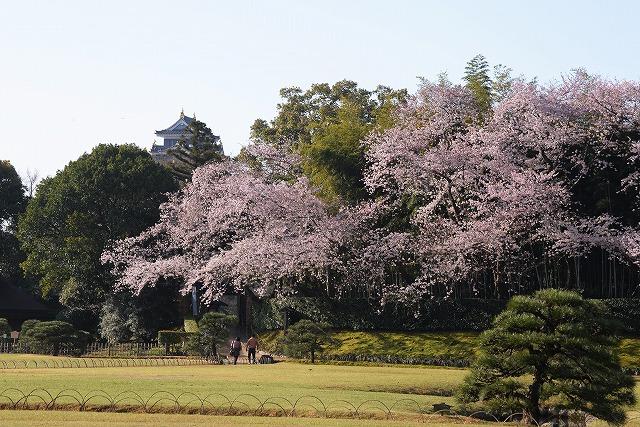 後楽園の桜1
