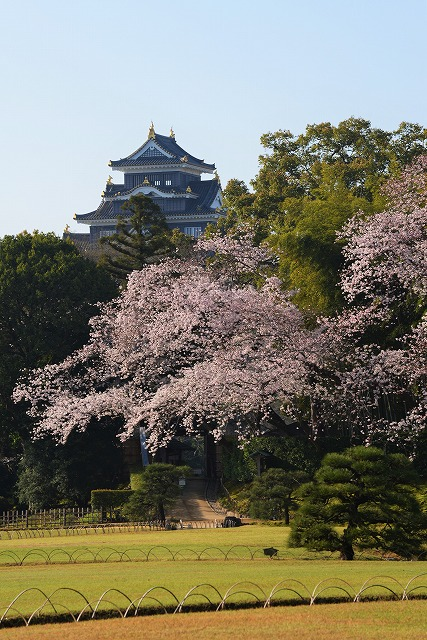 後楽園の桜2