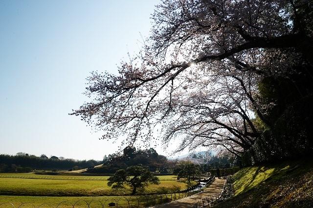 後楽園の桜5