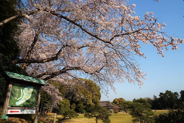 後楽園の桜8