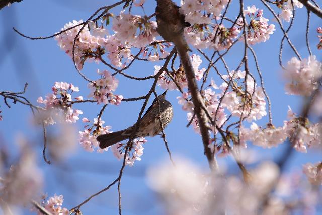 後楽園の桜9