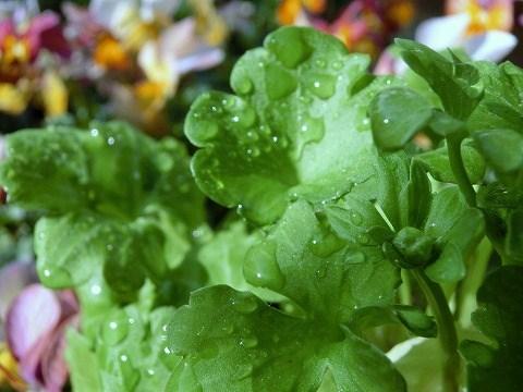 リュウキュウヒキノカサの葉