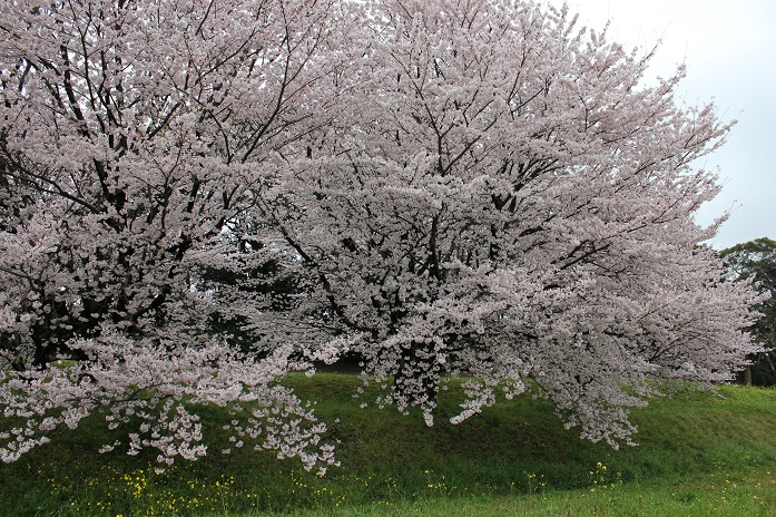 2016.4.1桜5