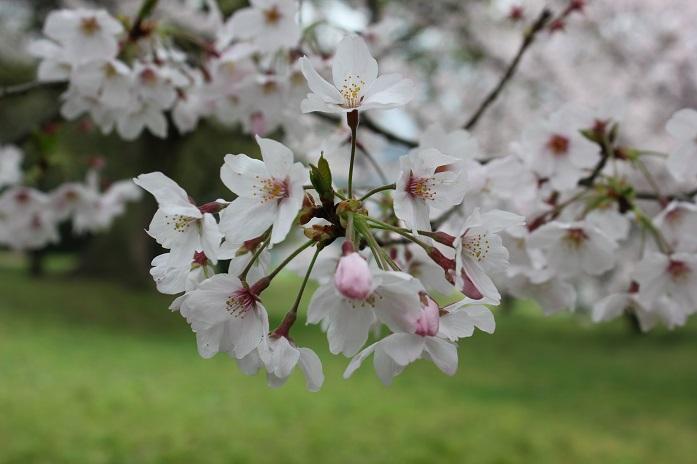 2016.4.1桜4