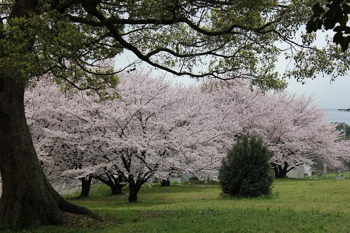 2016.4.1桜3