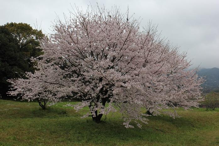2016.4.1桜2