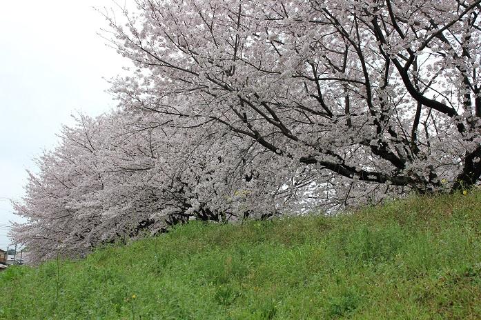 2016.4.1桜1