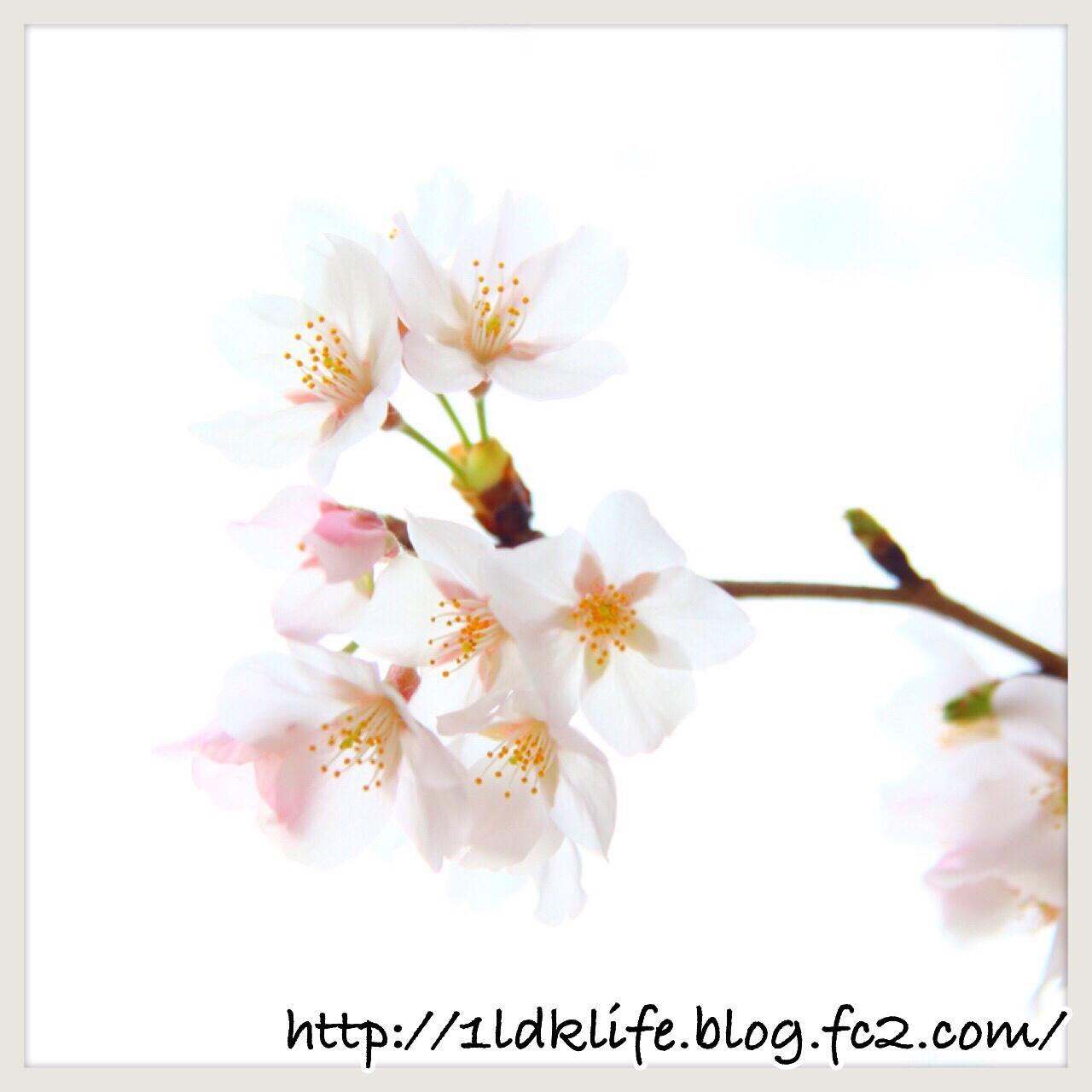 桜。2016年。