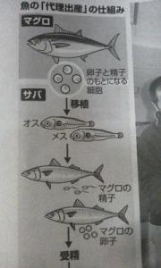 151115_魚の代理出産