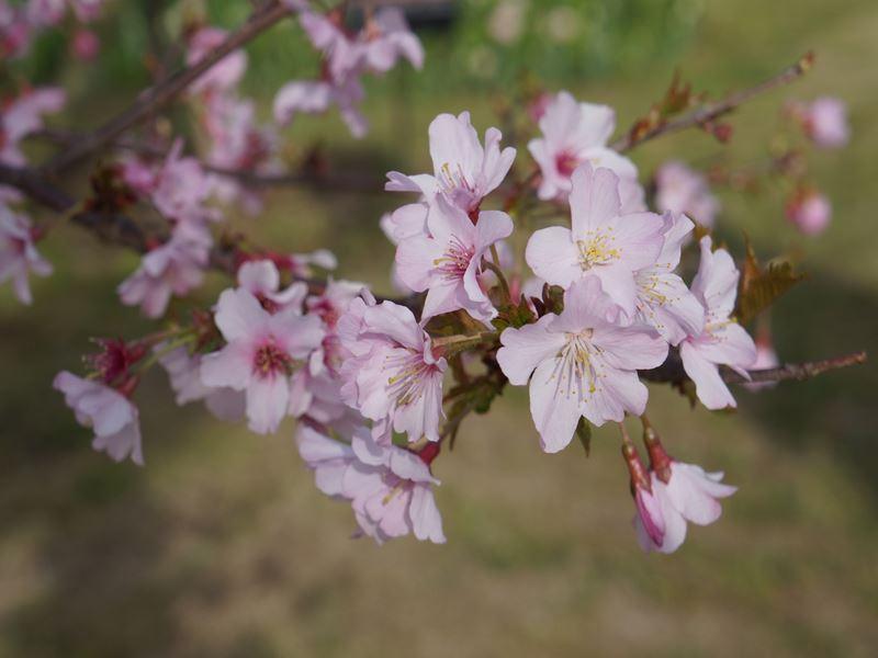 桜ピンクウエーブ