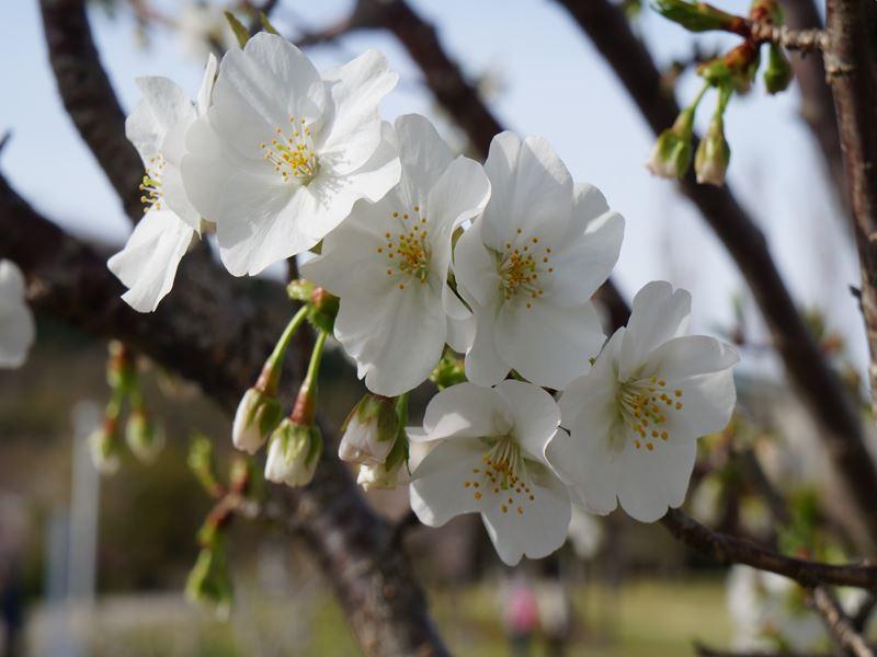桜 ウミネコ