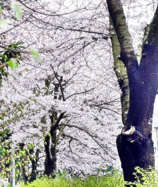 DSC05313桜の木の下で