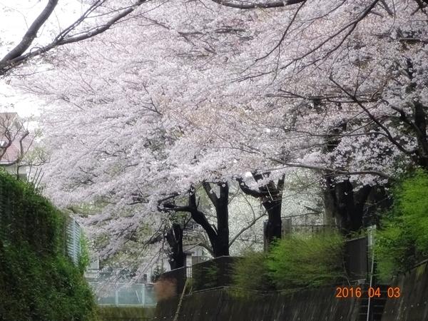 DSC05298川沿いの桜