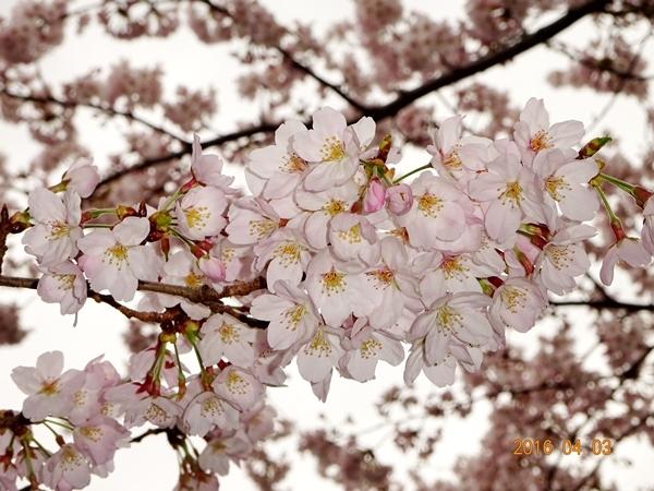 DSC05296桜アップ