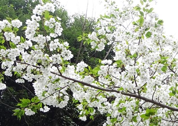 DSC05337純白の桜