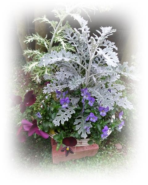 DSC05376越冬鉢植え1