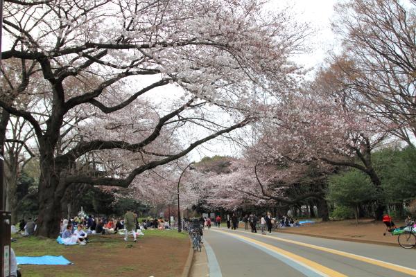 IMG_3825桜満開間近桜満開間近