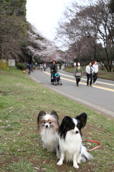 IMG_3833桜満開間近桜満開間近