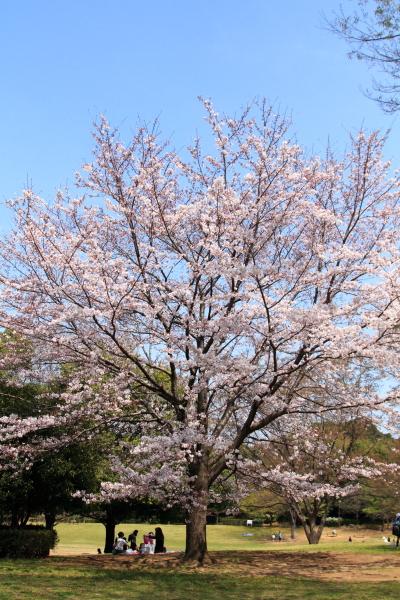 IMG_3851桜満開間近桜満開間近