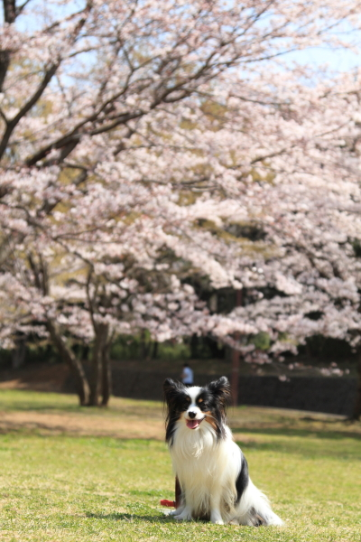 IMG_3861桜満開間近桜満開間近