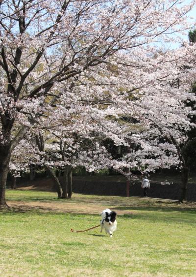 IMG_3864桜満開間近桜満開間近