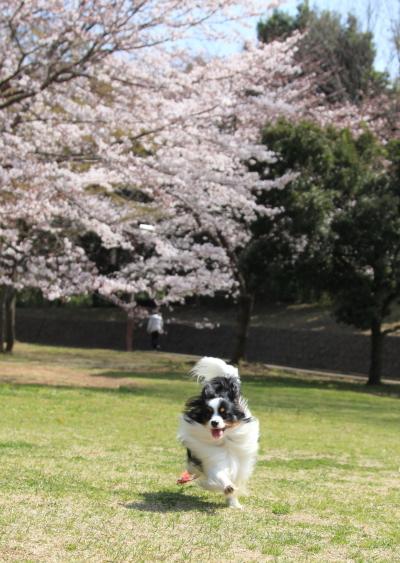 IMG_3866桜満開間近桜満開間近