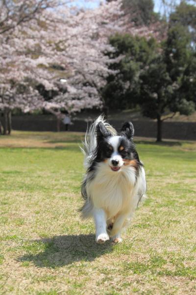 IMG_3867桜満開間近桜満開間近