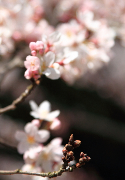 IMG_3848桜満開間近桜満開間近