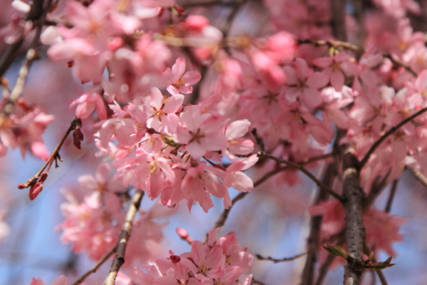 IMG_3874桜満開間近桜満開間近