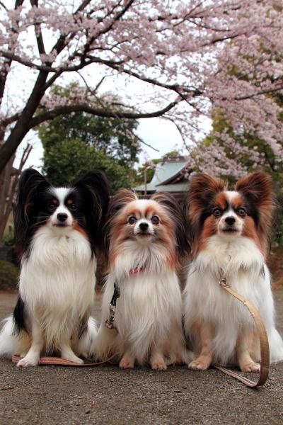 IMG_3973近所の桜1近所の桜2016