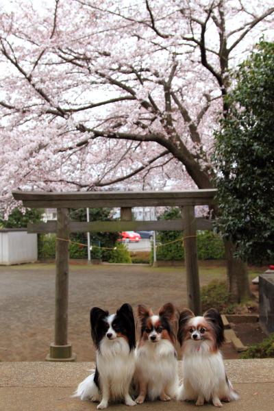 IMG_3952近所の桜1近所の桜2016