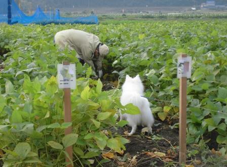 枝豆収穫3