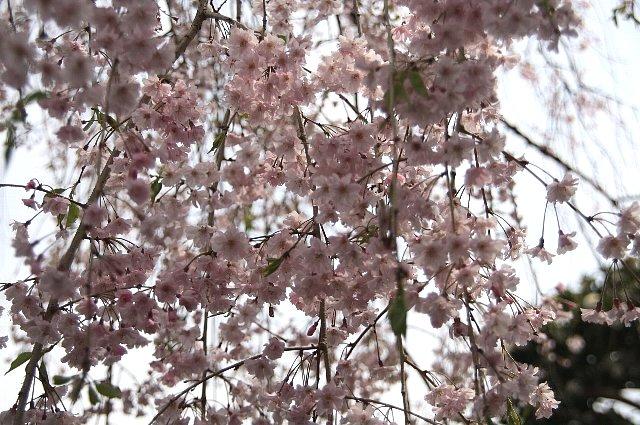 枝垂れ桜 八重1