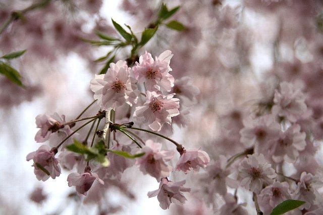 枝垂れ桜 八重