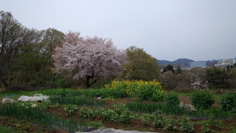 7裏山の桜0410android-20160410211208