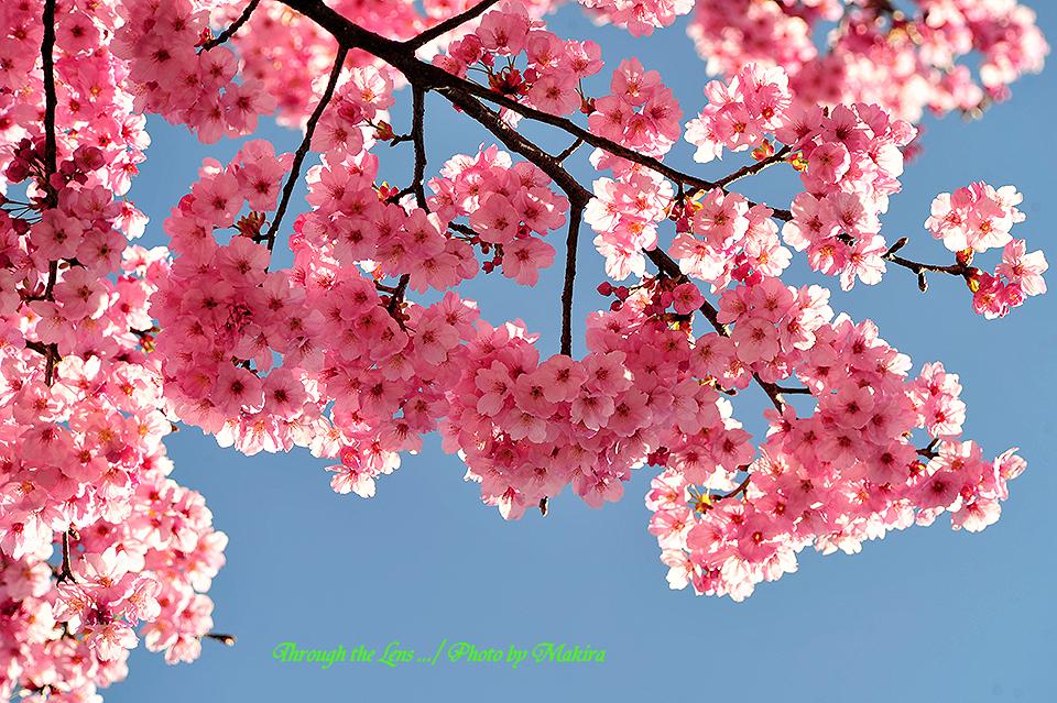 ヨウコウザクラ(陽光桜)1