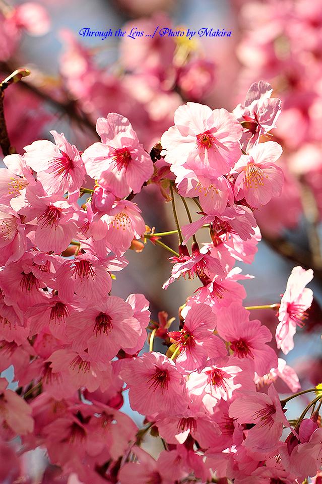 ヨウコウザクラ(陽光桜)2